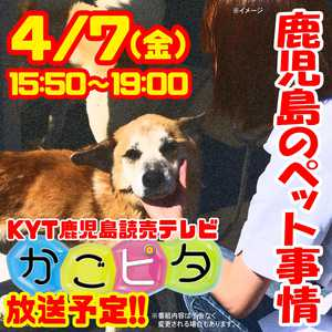 KYT【かごピタ】放送告知|さくらペットクリニック|動物病院|鹿児島市
